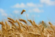 il grano protagonista di Raccontando Larino
