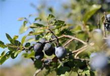 Proprietà antitumorali del Prunus molisano, l'ok dell'Istituto di Sanità