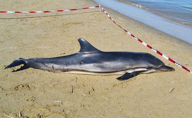 DelfinoSpiaggiatoPescara