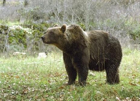 orso bruno1